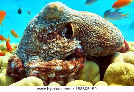 Big Octopus In Red Sea