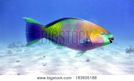 Parrot Fish In Red Sea