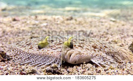 Flatfish Fish In Red Sea