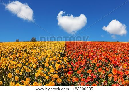 Concept of rural tourism and agrotourism. Luxury garden buttercups. The kibbutz in the south of Israel. Fluffy clouds over the floral splendor