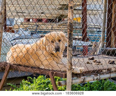 Large furry adult golden retriever in large cage posing for the camera.