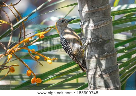 Hoffmann's woodpecker (Melanerpes hoffmannii) sits on the palm tree's trunk