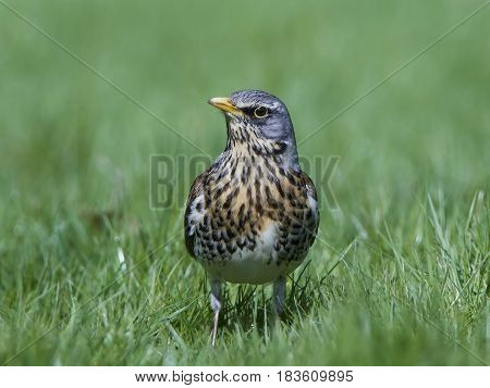 Fieldfare (Turdus pilaris) standing in grass in its habitat