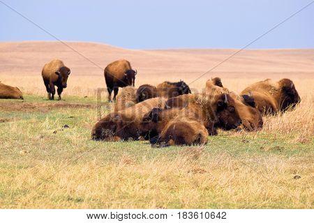 Buffalo roaming vast grasslands taken at the Tallgrass Prairie on the Kansas Plains