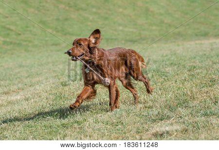 Irish setter runs across the field selective focus on the dog