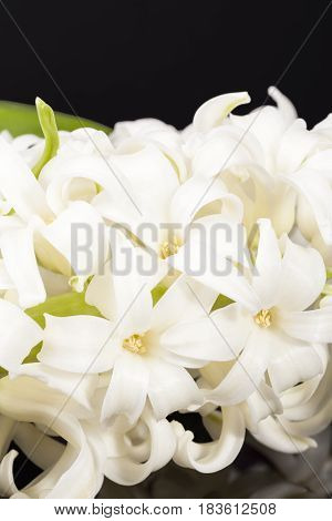 Spring flower white Hyacinth isolated on black background reflection