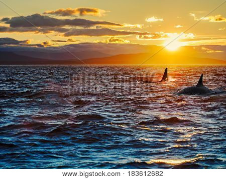 Two killer whales dorsal fins against setting sun with remote islands in the backdrop
