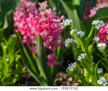 White spring flowers against the pink hyacints