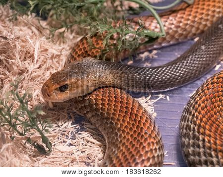 The Taipan is considered to be one of the most dangerous snakes in the world. These are giant (4 m) fastnervous and highly venomous snakes found in Australia and Papua New Guinea
