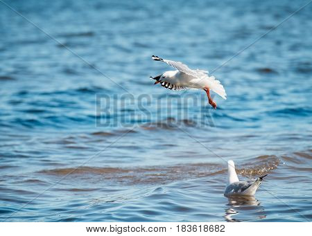 Seagull / Sea Gull Flying / Diving Over Water