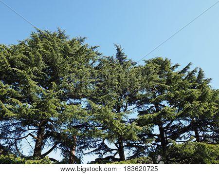 Pine (pinus Pinaceae) Tree Over Blue Sky