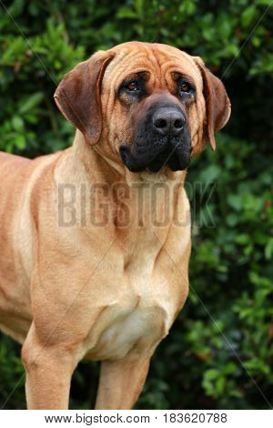 Portrait of tosa inu bandog against green natural background