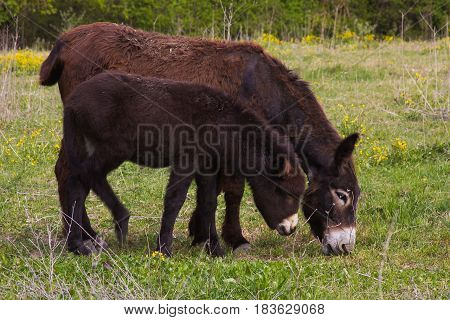 Mother donkey with her little puppy, Umbria