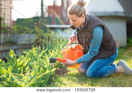 Pretty woman gardener Watering tulips with watering can in spring time