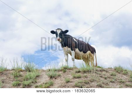 Young curious cow on a hill .