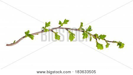 Sprig from the bush with young green leaves isolated on white background