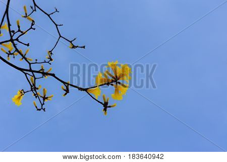 Blossom yellow flower on the tree on clear blues sky background