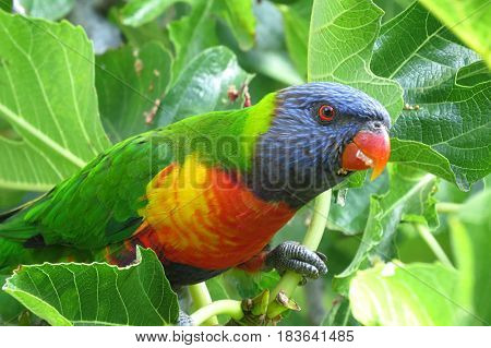 Colourful Rosella parrot Native Australian bird in a fig tree