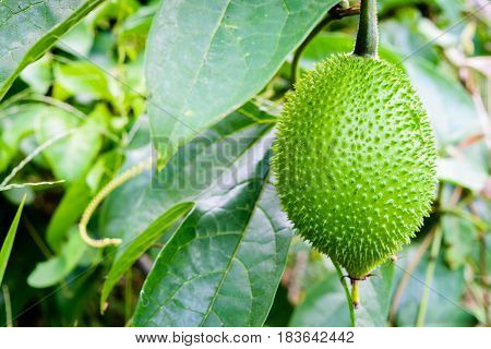 Gac fruit Baby Jackfruit Spiny Bitter Gourd Sweet Grourd or Cochinchin Gourd