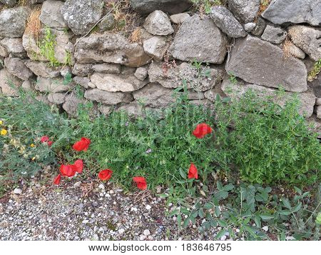 Poppies By Stone Wall