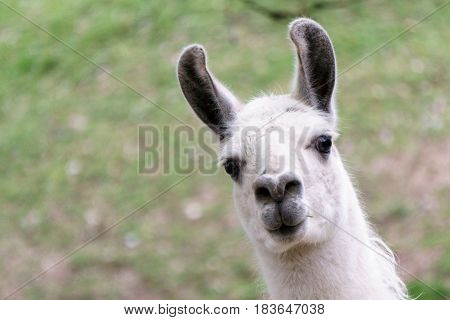 White lama with long set up ears