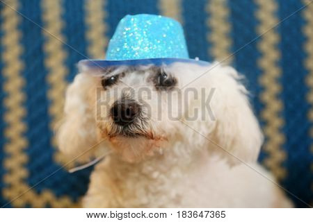 A bichon frise dog wears her blue hat