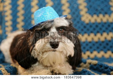 A Havanese dog wears a blue glittery hat as a gag or Halloween costume