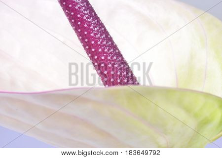 A beautiful close up of an isolated Anthurium flower.