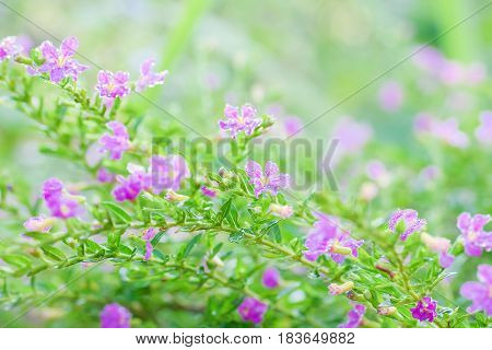 Drops of water on False Heather Texture and backgound Mexican false heather Hawaii false heather elfin herb or Cuphea hyssopifolia