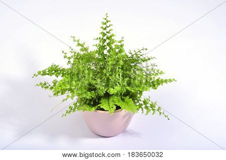 A fresh green fern isolated on a clear white background.