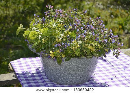 In this pot you can see a combination of Myosotis, more commonly known as forget-me-not flowers, and scorpion grass.