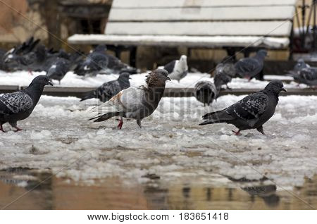 lot of pigeons in the melted snow puddles spring urban street