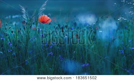 Wild red poppy flower in evening light with violets