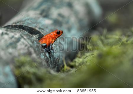 Strawberry poison frog or strawberry poison-dart frog (Oophaga pumilio, formerly Dendrobates pumilio)