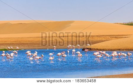 Flock Of Pink Flamingo Marching Along The Dune In Kalahari Desert, Namibia