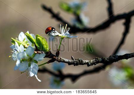 Ladybird on a spring blossom flower branch