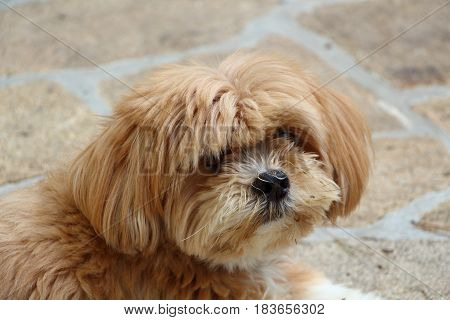Head of a Lhasa Apso dog in a garden