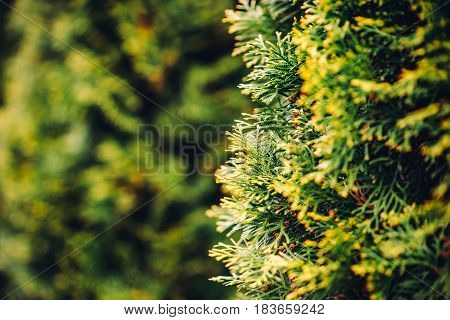 retro close up conifer tree defocused background