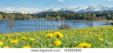 Beautiful Dandelion flower field at lakeside and snow covered mountains in springtime. Location: Schwaltenweiher in Bavaria, Alps, Allgau, Germany. Fresh green grass, blue water and sky, white mountains and clouds.