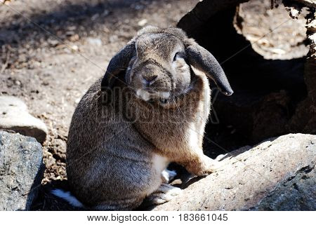 Wild lop-eared rabbit looking around with curiousity.