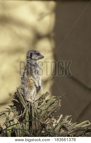 Meerkat on watch. Single lone meerkat standing on sentry duty. Profile shot against blurred background with copy space.
