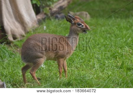 Cute dik dik with his mouth wide open chewing on a twig.