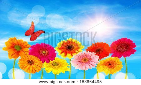 Colorful gerber flowers and  butterfly