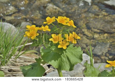 A close up of the flowers of kingcup (Caltha palustris) at river.