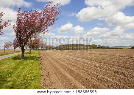 Avenue Of Cherry Trees With Potato Rows