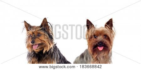 Beautiful little dogs isolated on a white background