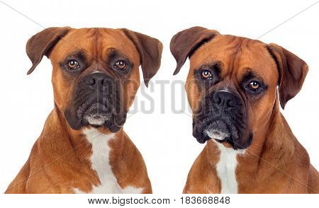 Two dogs of the same breed looking at camera isolated on a white background