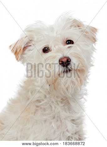 Beautiful white dog looking at camera isolated