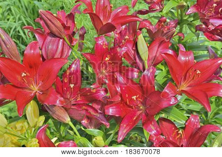 A close up of the flowers dark-red lily.