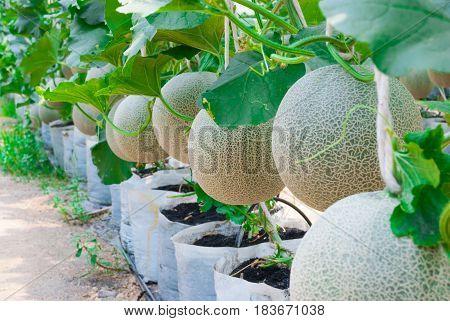 Closeup To Cantaloupe/ Musk Melon/ Cucumis Melo L. Var. Cantalpensis/ Cucurbitaceous
